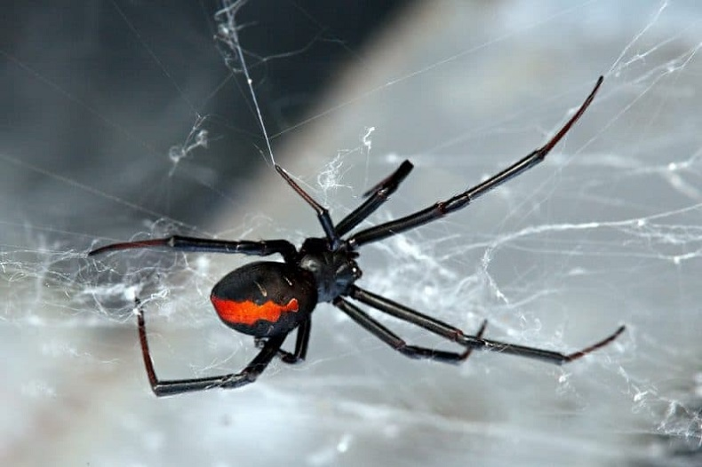 Get Rid of Spiders Infestations Awesomepest