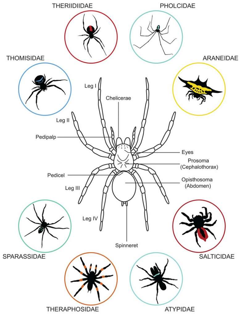 Biology and Behavior of Spiders Awesomepest