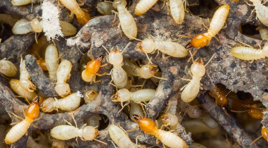 Termite Control Services Vaughan