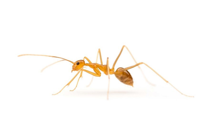 Best Pharaoh Ants Control Services by Awepestcontrol