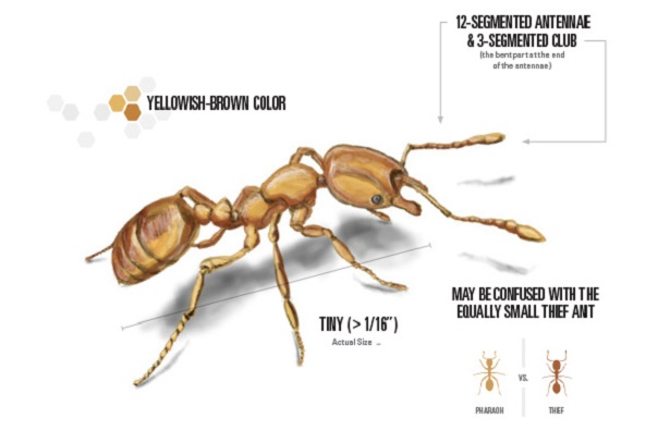 Facts of Pharaoh Ants Awesomepest