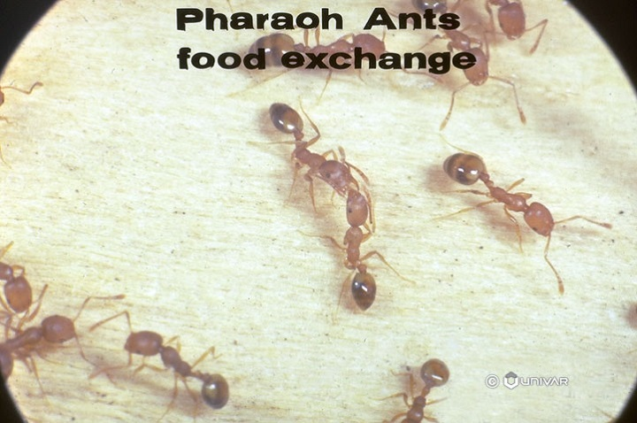 Food Habits of Pharaoh Ants Awesomepest