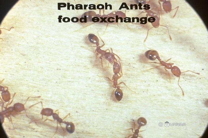 Food Habits of Pharaoh Ants Awesomepest