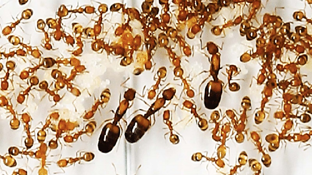 Pharaoh Ants Infestations Awesomepests
