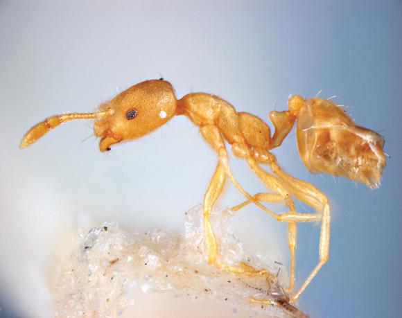 Identifying Pharaoh Ants Awesomepest
