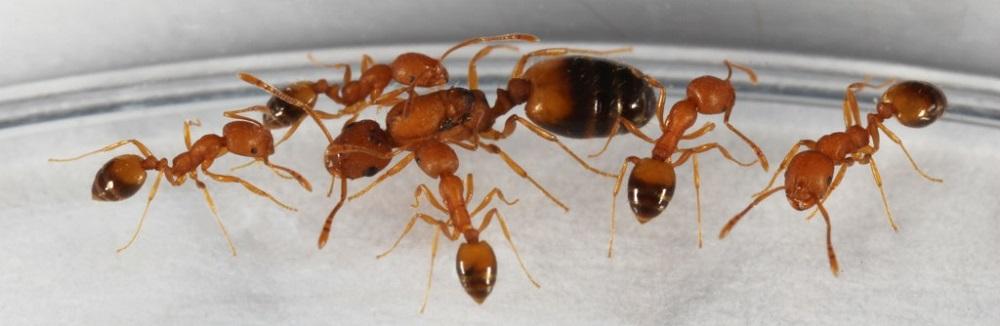 Nesting of Pharaoh Ants Awesomepest