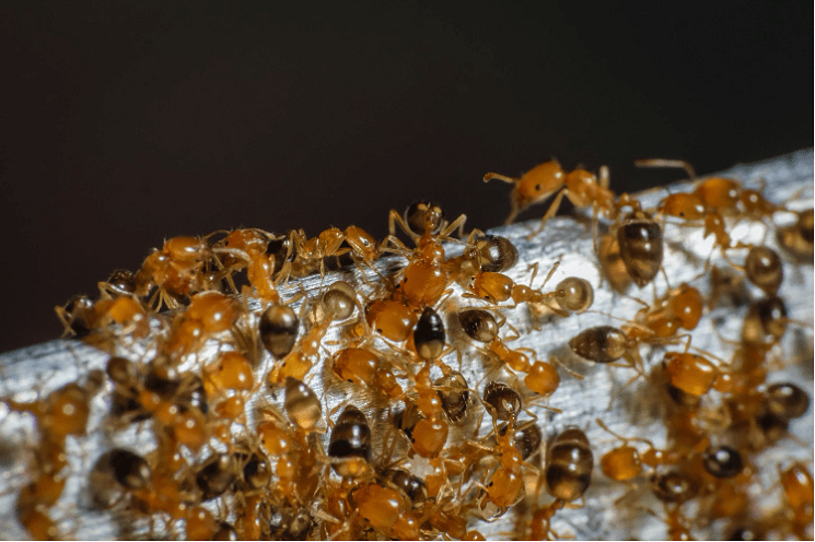 Pharaoh Ants Control Services Awesomepest offers