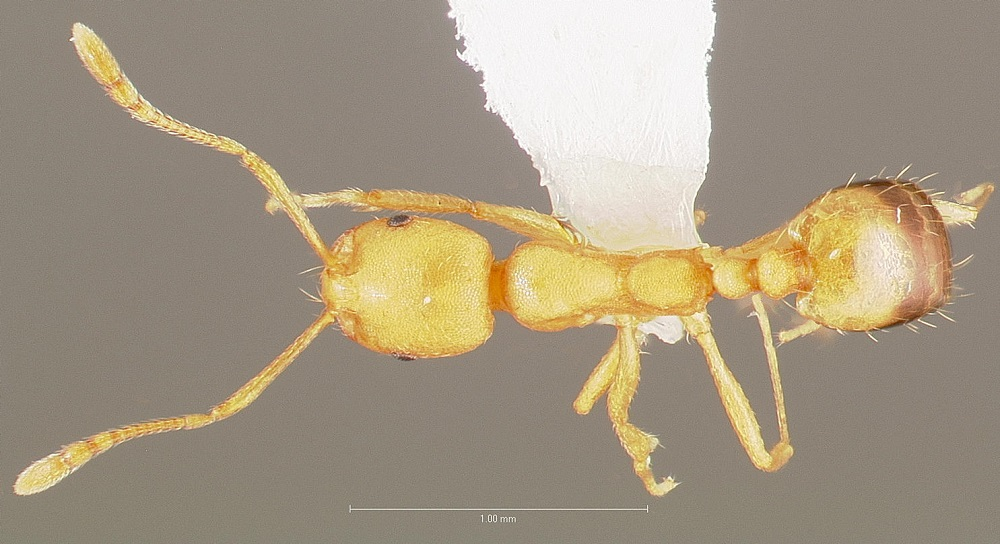 Pharaoh Ants Control Services Aweseompest