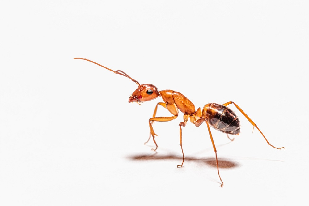 Pharaoh Ants Control Services offered by best Awesomepest