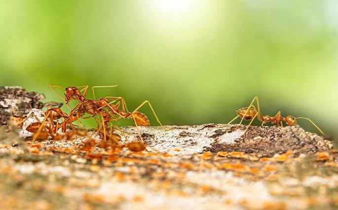 Serious or Dangerous Pharaoh Ants Awesomepest