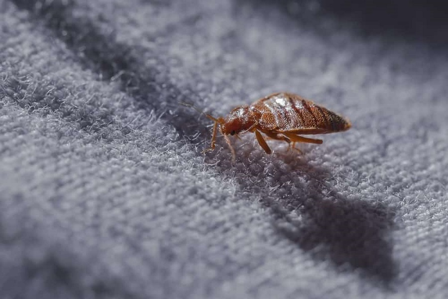 Awesome Pest types of bed bugs