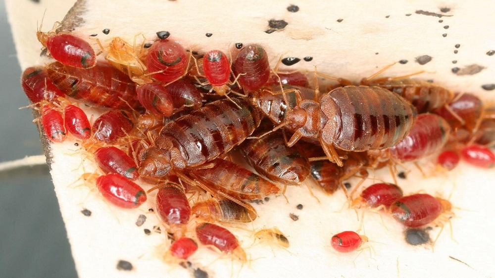 Awesomepest Habitats of Bed Bugs