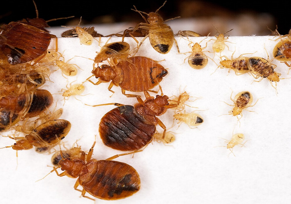 Bed Bugs Control Services Bed Bugs infestations Awesomepest