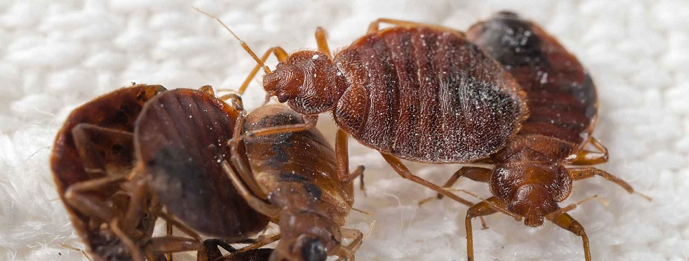 Bed Bugs Habits Awesomepest