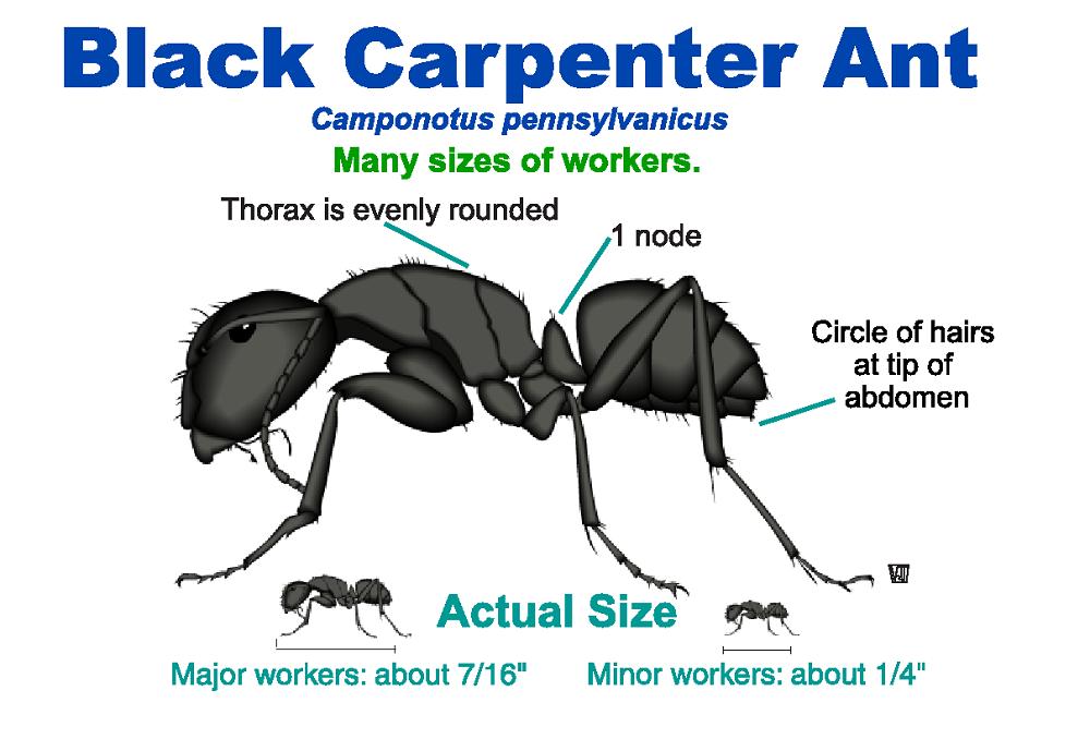 Black Carpenter Ants Awesomepest
