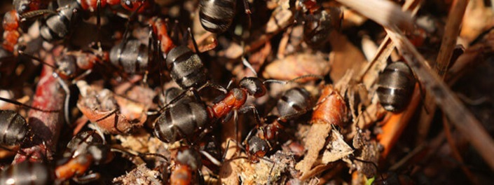 Carpenter Ants Infestations Awesomepest