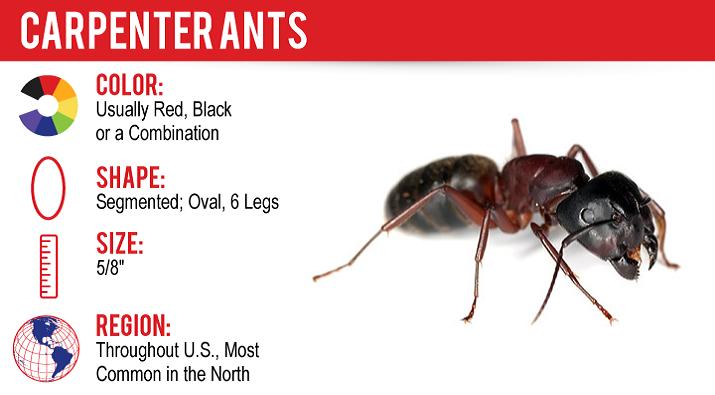 Carpenter Ants Treatment Toronto Awesomepest