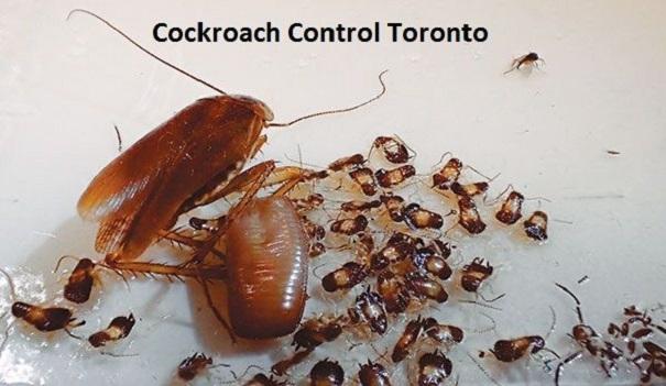 Cockroaches Extermination Toronto Awesomepest
