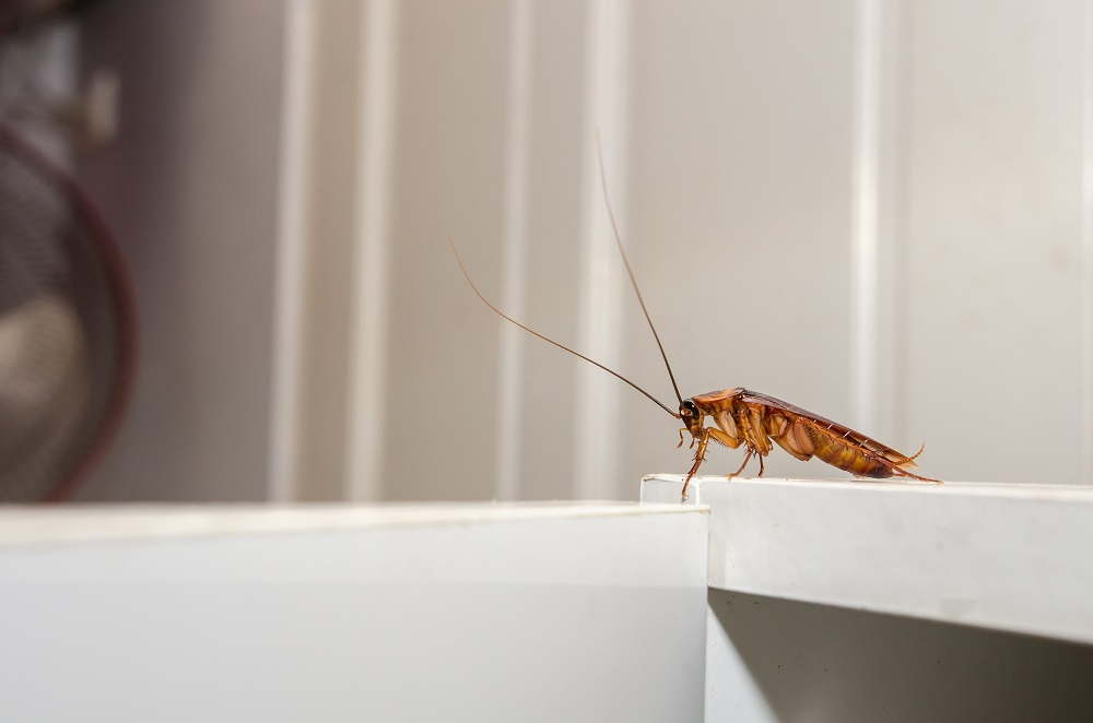 Cockroaches Extermination Toronto Services Awesomepest