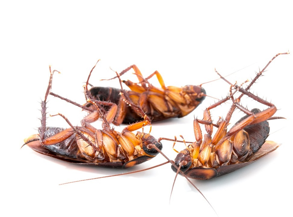 Cockroahes Control Services Awesome Pest Control Toronto