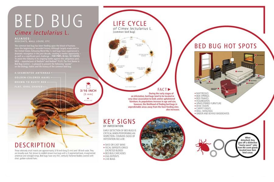 Feeding Habits of Bed Bugs Awesomepest