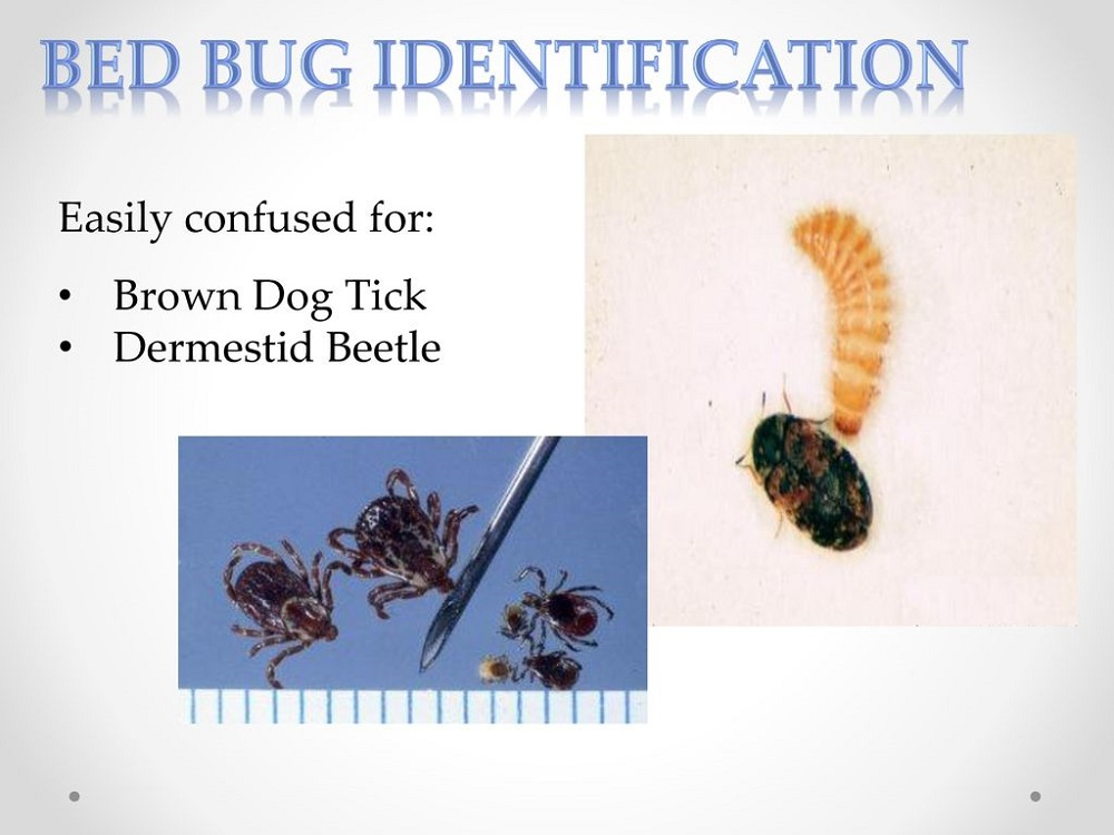 Identification of Bed Bugs Awesomepest
