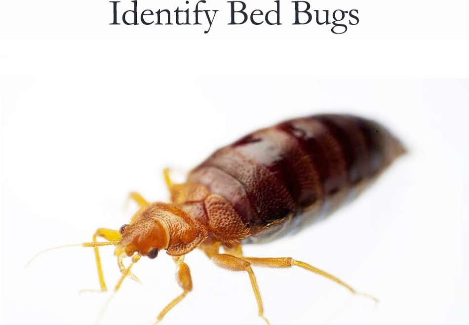 Identifying Bed Bugs Awesomepest