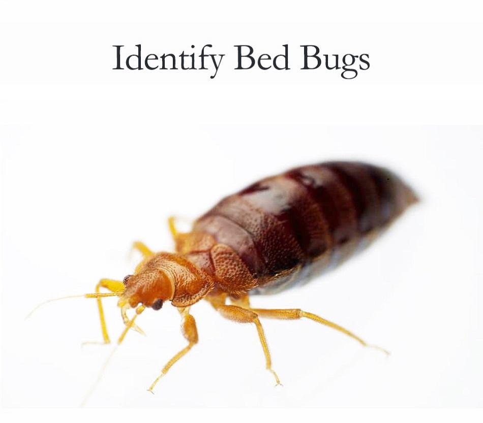 Identifying Bed Bugs Awesomepest