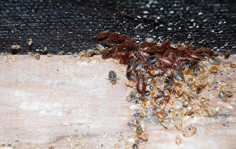 Infestations of Bed Bugs AwesomePest