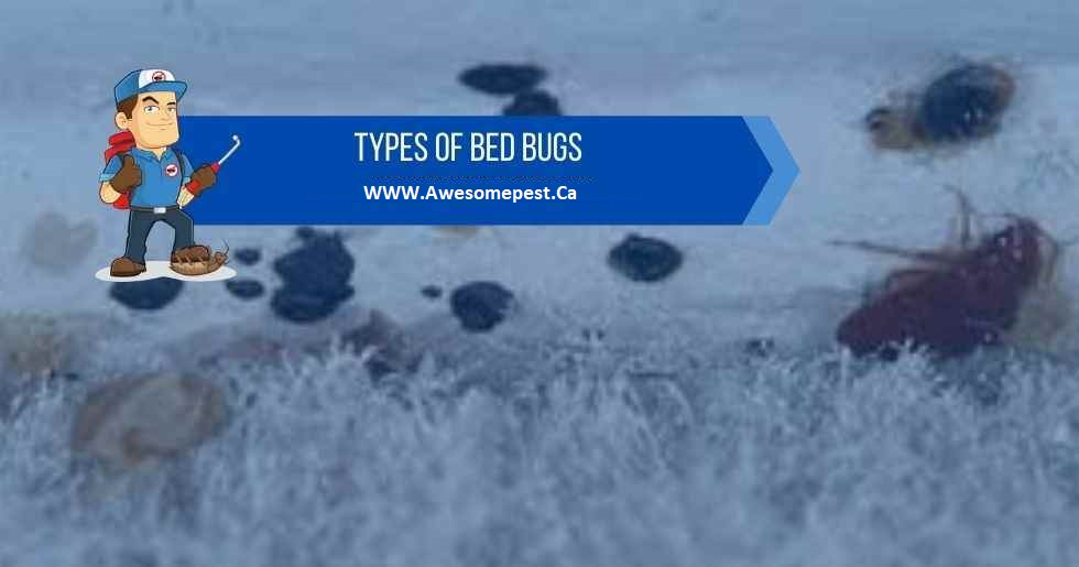 Remove Bed Bugs Awesomepest