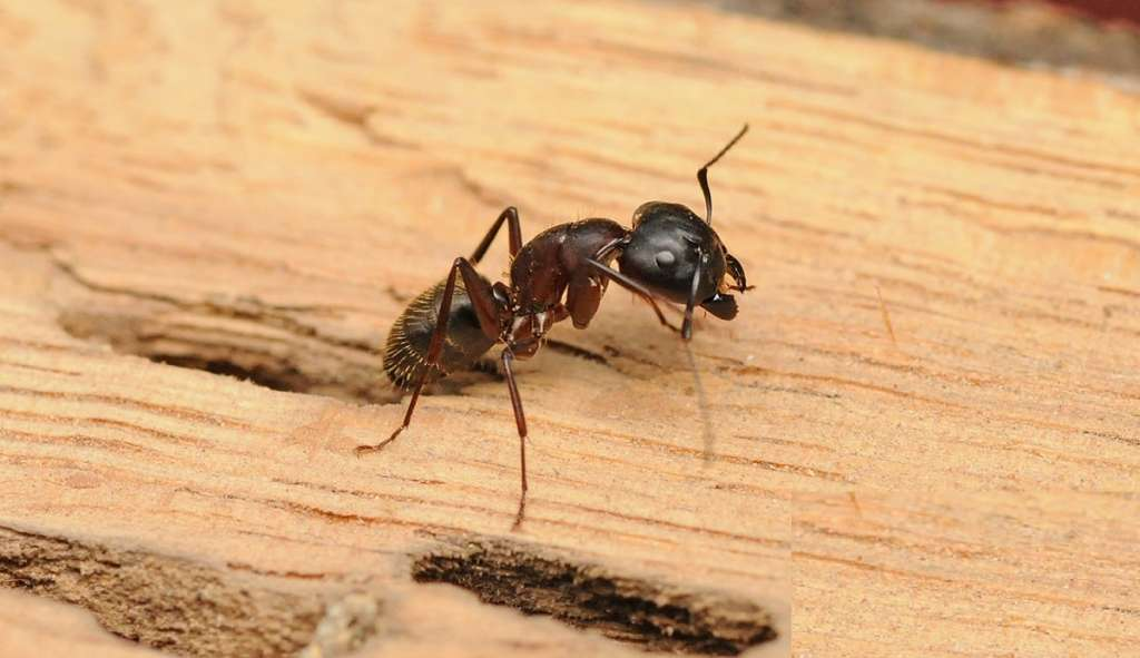 Where Carpenter Ants Live Awesomepest