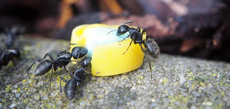 What do these ants feed on Awesomepest Control