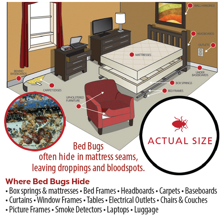 Where do bed bugs hide AwesomePest