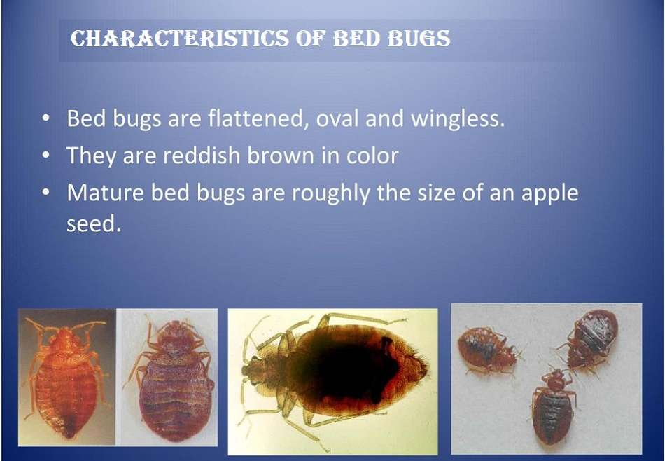 characteristics of bed bugs Awesome Pest Control AwesomePest
