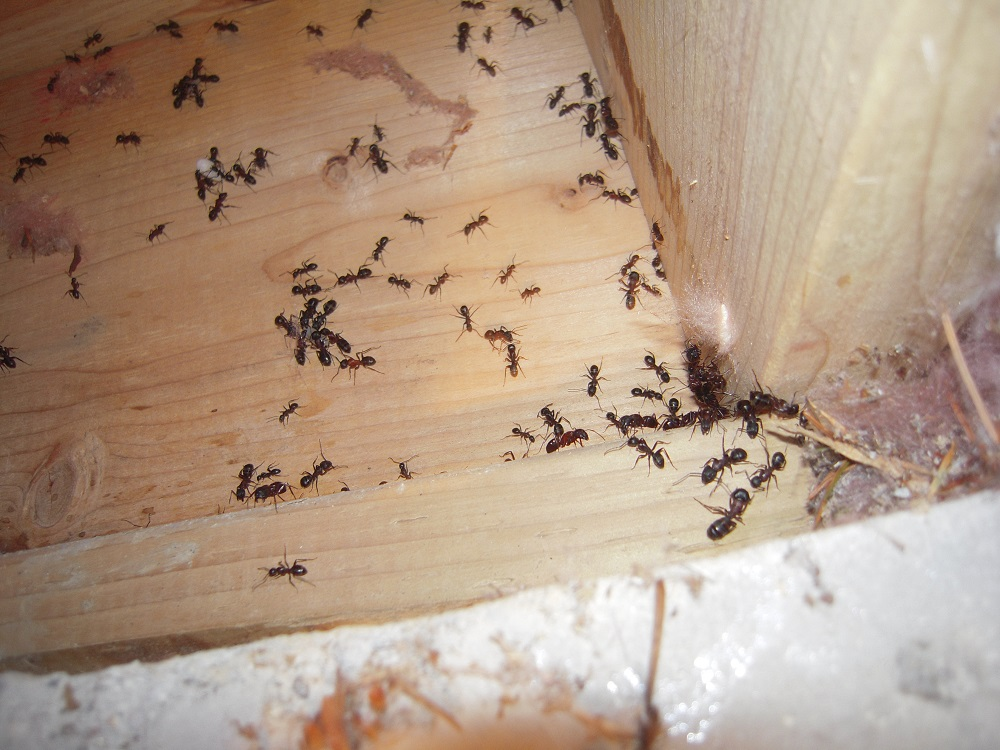 how carpenter ants come in home Awesomepest