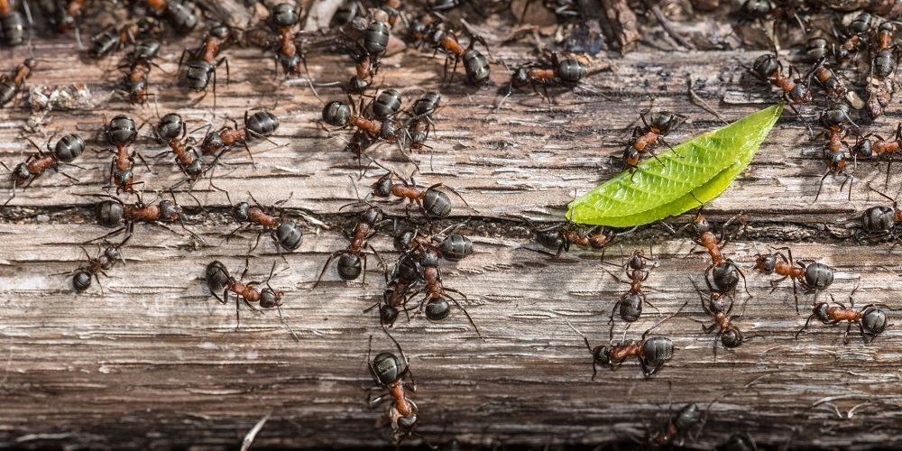 remove Carpenter Ants infestations Awesomepest
