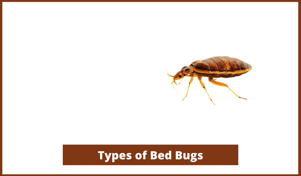Types of bed bugs AwesomePest