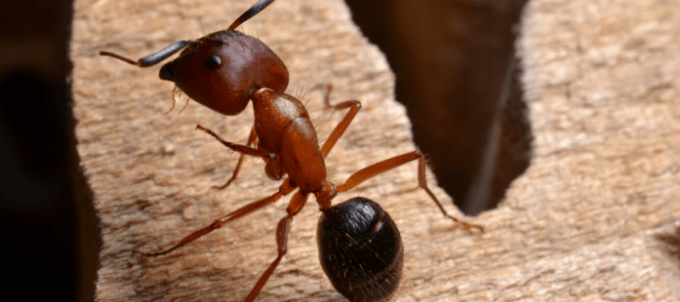 Awesomepest Carpenter Ants Control