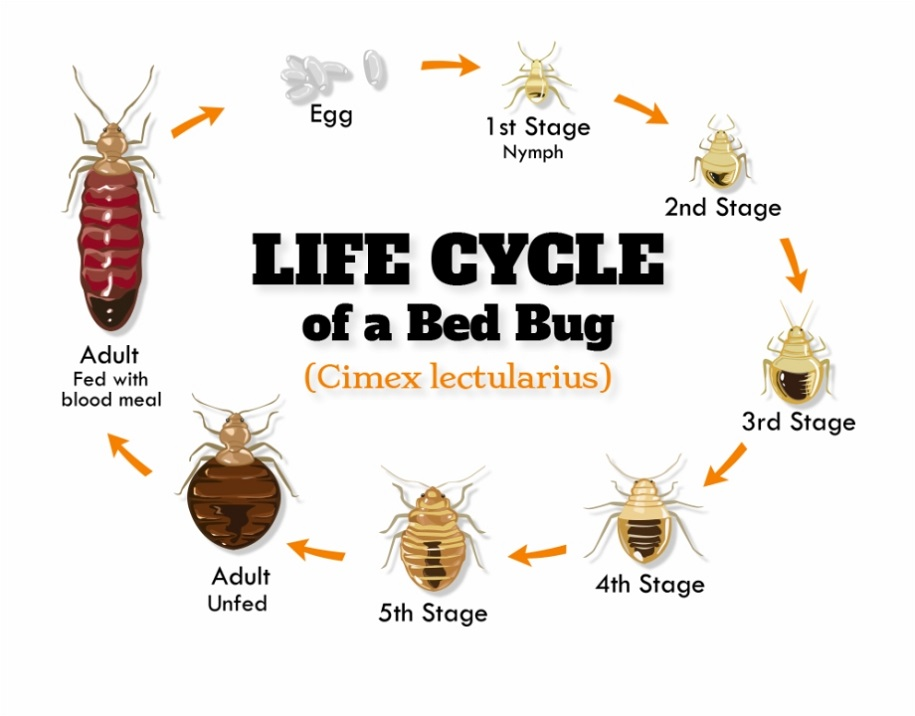 Awesomepest PRODUCTION AND LIFE CYCLE OF BED BUGS