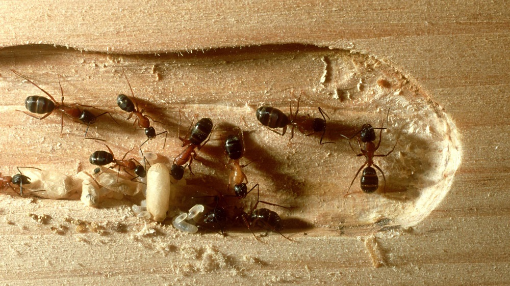 Carpenter Ants Awesomepest