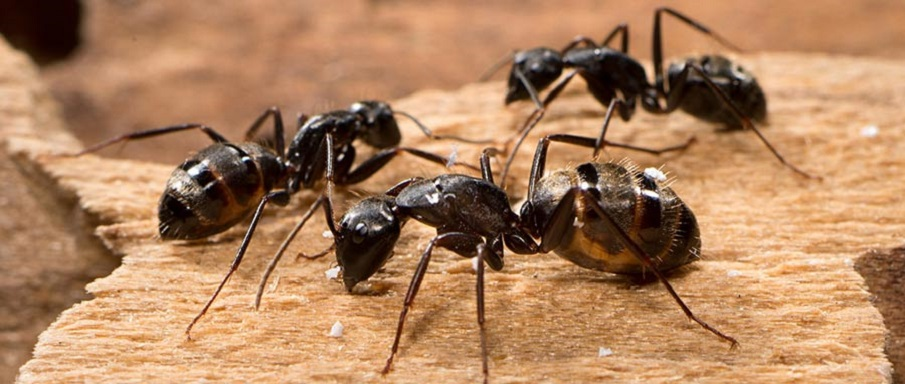 Carpenter Ants Control Awesomepest