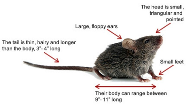 Common Characteristics of Mice Awesomepest
