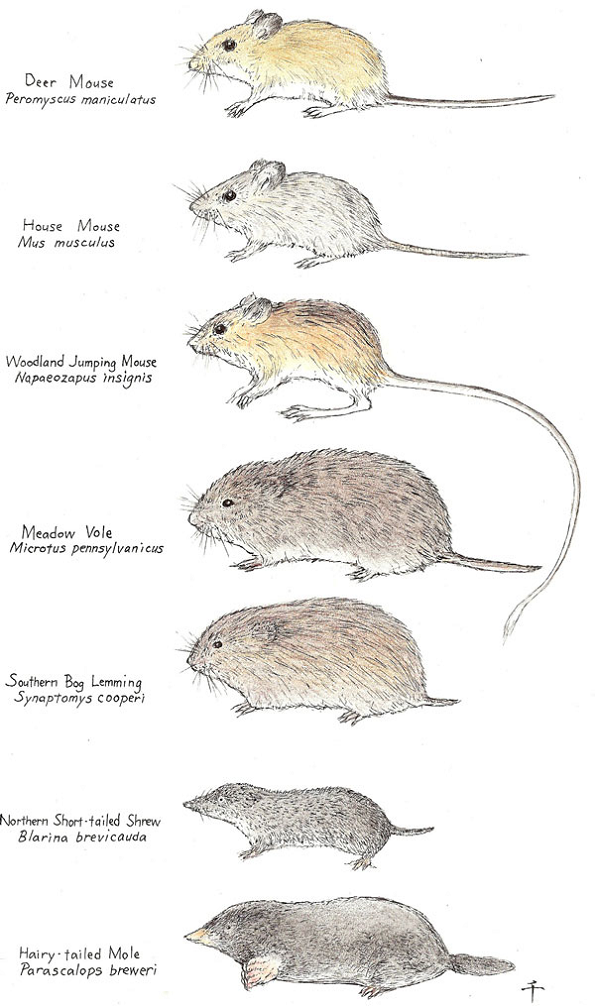 Common Species of Mice Awesomepest