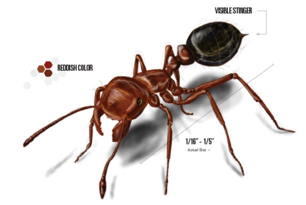 Fire Ants Awesomepest