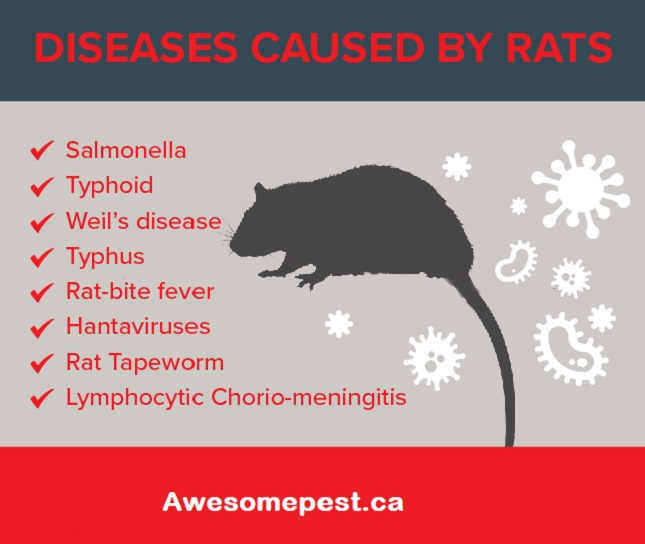 How are rats dangerous Awesomepest