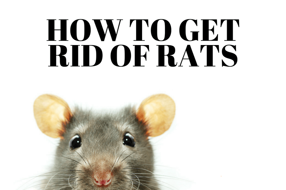 How to Get Rid of Rats Awesomepest
