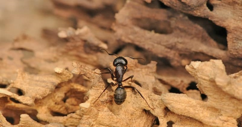 Indoor Carpenter Ant Treatment Awesomepest
