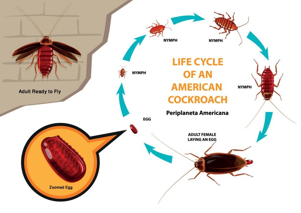 Life Cycle & Behavior of Cockroaches Awesomepest