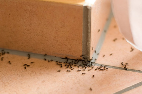 Methods to Control Ants Infestation Awesomepest