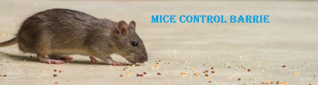 Mice Control Barrie Awesomepest